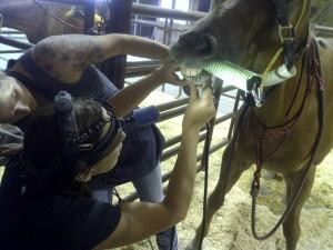 opleiding paardentandarts USA